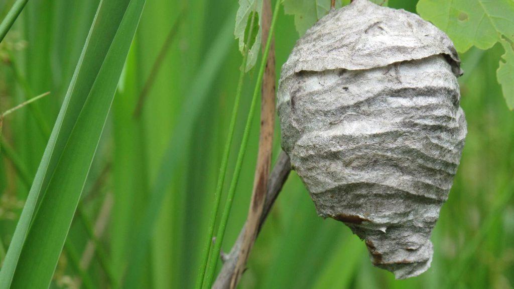 verwijderen wespennest